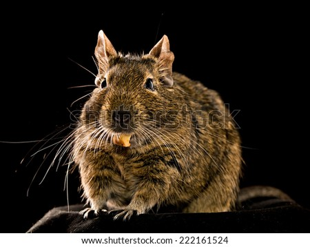 degu pet closeup isolated on black background - stock photo