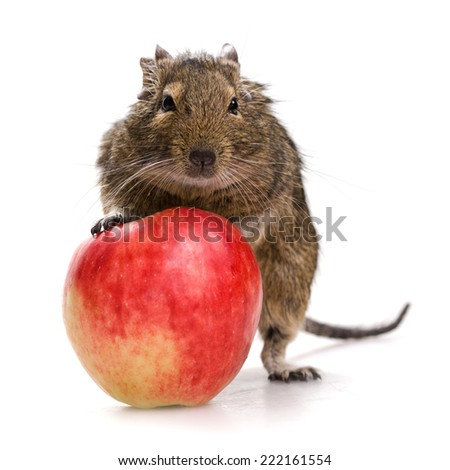 degu pet with red apple isolated on white background - stock photo