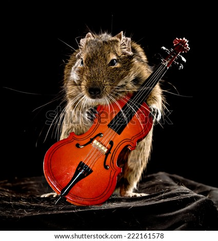 degu pet with viola isolated on black background - stock photo