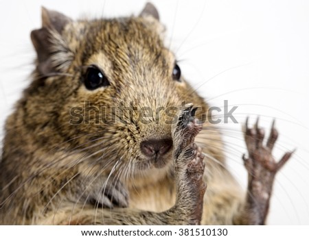 degu rodent snout and paws closeup isolated on white - stock photo