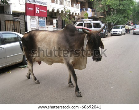 DELHI, INDIA - JULY 18: Holy cow on the street next to vehicles on July 18, 2010 in Delhi, India.