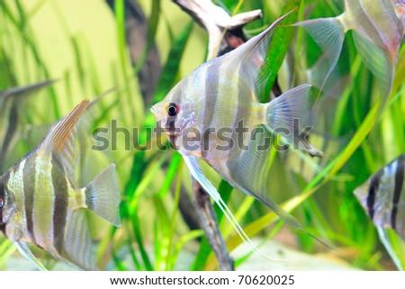 Delicate angelfish with black stripes in aquarium - stock photo