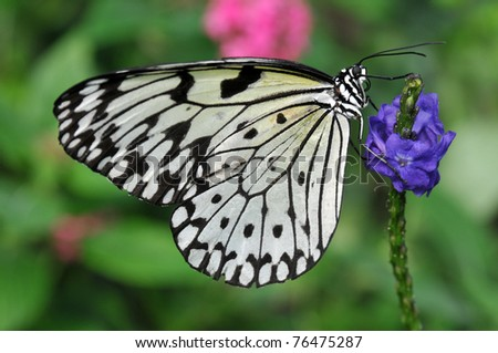 Delicate black and white Rice Paper butterfly on a purple flower