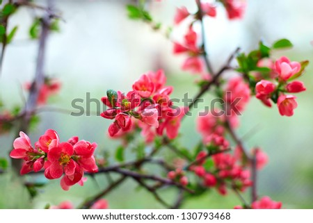 delicate blooming flower branch covered with dew - stock photo