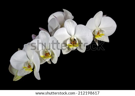 delicate buds and flowers of the phalaenenopsis orchid