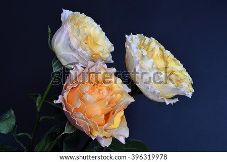 Delicate bunch of cream-colored roses close-up on a blue background - stock photo