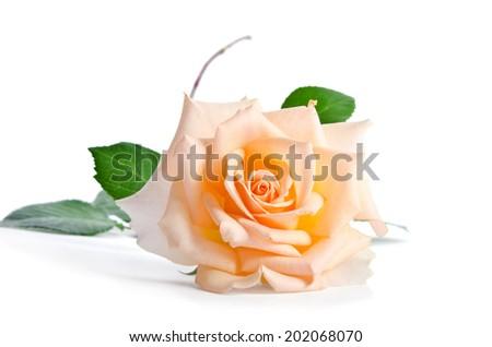 Delicate cream rose isolated on white background  - stock photo
