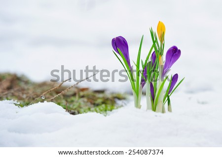 Delicate crocus flowers in the snow  - stock photo