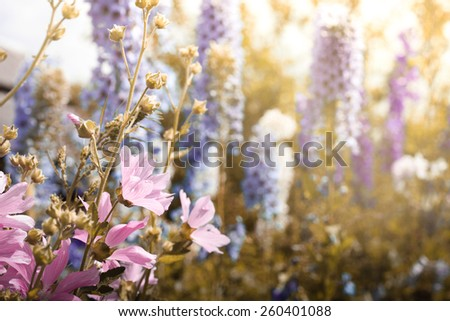 delicate floral background pink hollyhock in the morning sun - stock photo