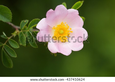 Delicate flower blossoming pink bud on green floral background - stock photo