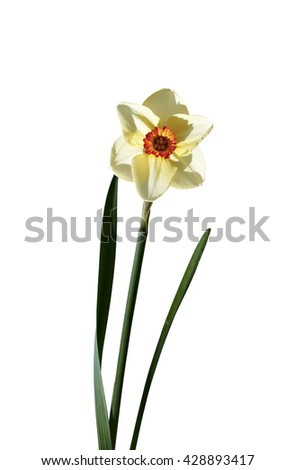 Delicate flower narcissus isolated on white background