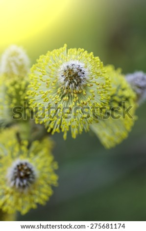delicate flower willow under the rays of spring soft sunlight - stock photo