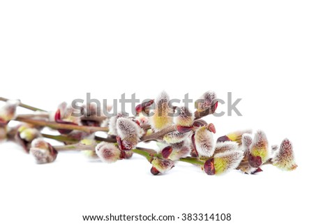 Delicate flowering willow branch isolated on white background. - stock photo