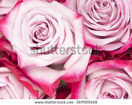 delicate flowers beautiful pink roses with unusual bright saturated edges of the petals - stock photo