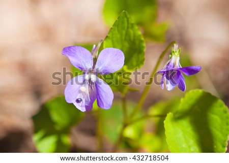 delicate flowers forest violets on the ground - stock photo
