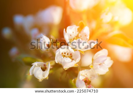 Delicate flowers of apple and soft Backlit sunlight. natural composition - stock photo
