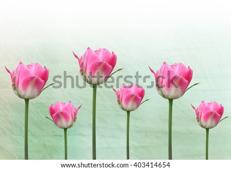 delicate flowers pink tulips on a background with a gradient - stock photo