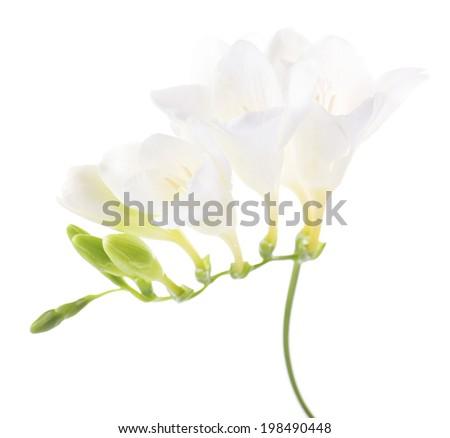 Delicate freesia flower isolated on white - stock photo