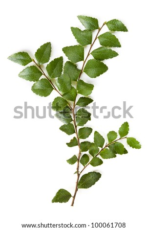 Delicate leaves of the ancient myrtle beech tree, isolated over white.  Nothofagus cunninghamii, found in the cool temperate rainforests of southern Australia. - stock photo