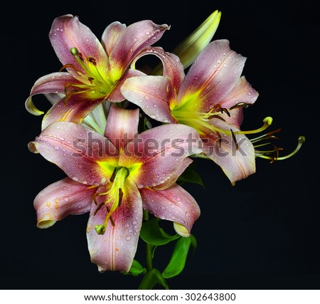 Delicate lilies flowers pink with yellow isolated on the black background - stock photo