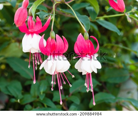 Delicate pink and white fushia flowers in full bloom - stock photo