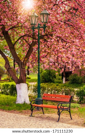 delicate pink flowers blossomed Japanese cherry treesin park near the bench and lantern - stock photo