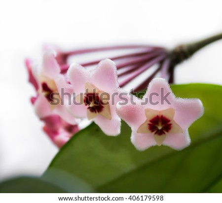 Delicate pink flowers Hoya, wax ivy, among green leaves. - stock photo