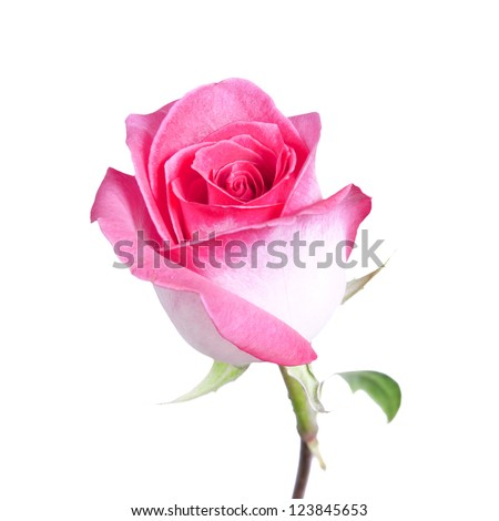delicate pink rose isolated on a white background
