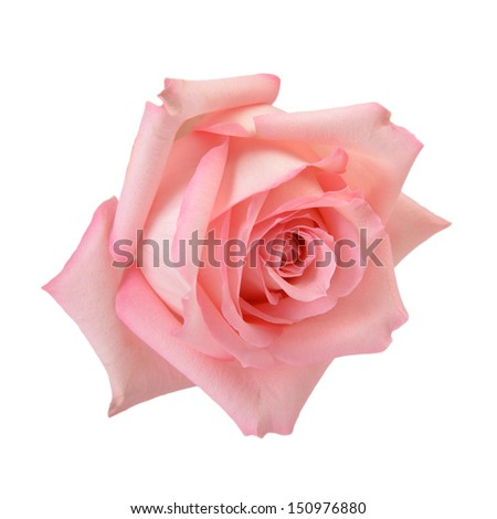 Delicate pink rose macro isolated on white. Clipping path included - stock photo