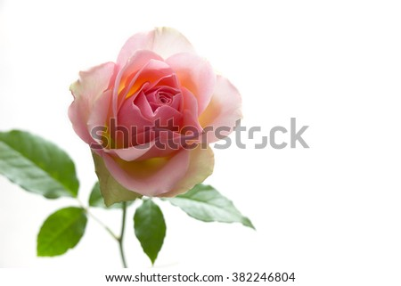 Delicate pink rose on white background. High-key photo. - stock photo