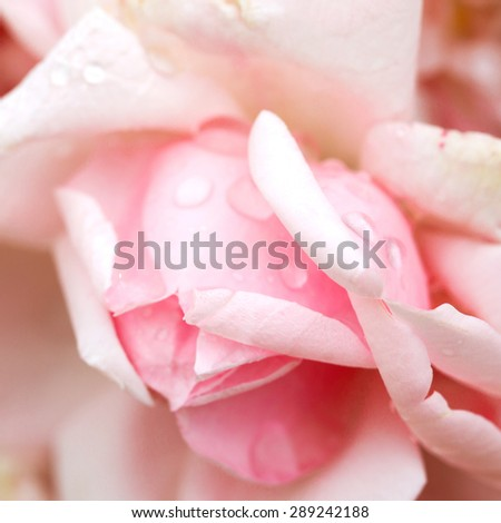 Delicate pink rosebud, bokeh as a background for setting advertising compositions. Soft selective focus. - stock photo