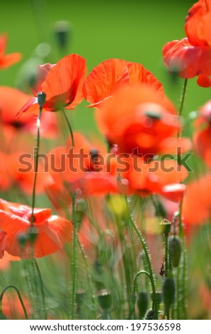 delicate poppy seed flowers on a field - stock photo