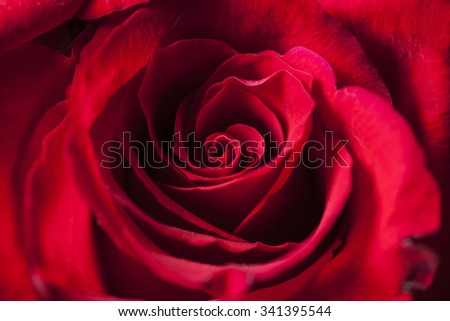 Delicate red rose perfectly in bloom. Texture from Mother Nature, close up shot showing petal detail - stock photo