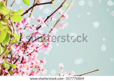 Delicate Redbud Blossoms against a blue background. Extreme shallow depth of field. - stock photo