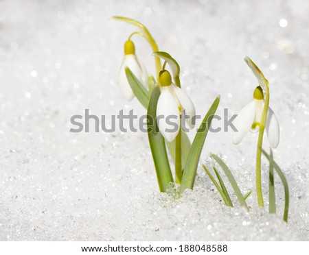 Delicate snowdrop flowers (Galanthus) peek out of the snow, the first sign of Spring in the garden. - stock photo
