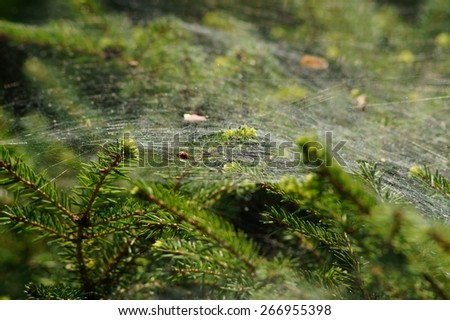 delicate spider web on the branches of a bush coniferous - stock photo