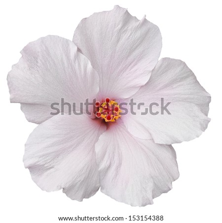 Delicate, white hibiscus flower found on the Big Island of Hawaii. Isolated on white makes for easy clipping path. - stock photo