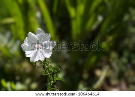 Delicate white petals with pink center of Musk Mallow flower with soft green background