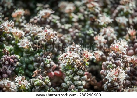 Delicate white star shaped flowers of a sedum succulent. - stock photo