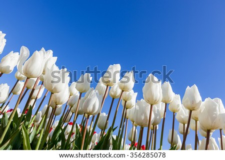 Delicate white tulip flowers against a clear blue sky background. - stock photo