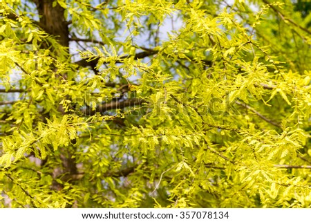delicate yellow-green leaves - stock photo