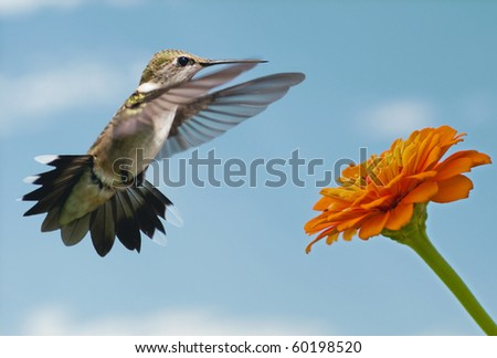 Delicate young Hummingbird getting ready to feed on a Zinnia - stock photo