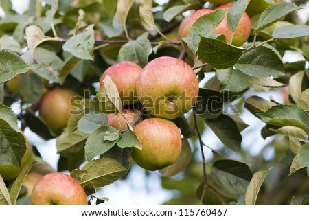 delicious apples on a branch