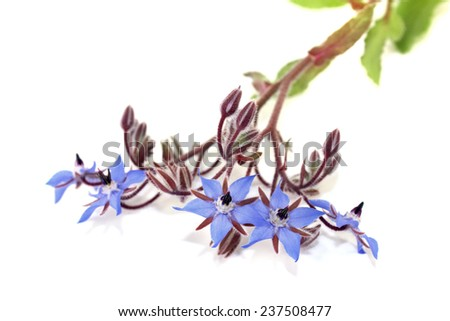delicious blue Borage on a light background