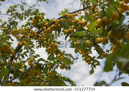 Delicious cherry-plums hanging from a tree branch in orchard