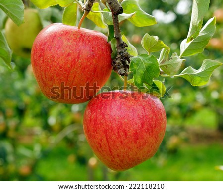 Delicious fresh Apples in the Garden - stock photo