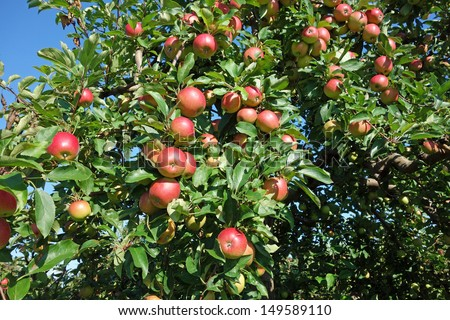 Delicious Gala apples on the tree in the summer before harvest - stock photo