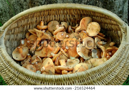 Delicious milk cap is one of the best known members of the large milk-cap genus Lactarius in the order Russulales - stock photo