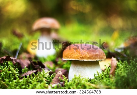 Delicious porcini cep mushrooms in forest moss - stock photo