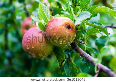 Delicious wild apples with water drops on a branch of an apple tree.   - stock photo